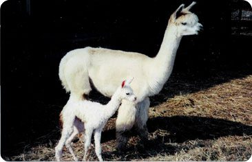 Alpaca Breeding Services