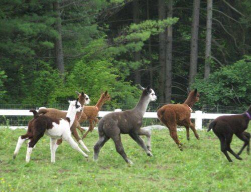 Cria Herd