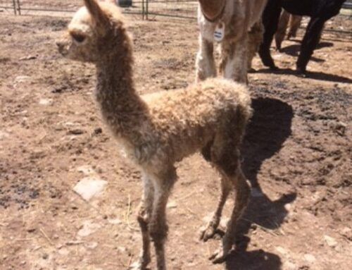 Our first cria of 2017!!